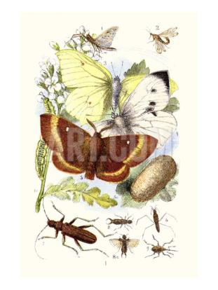 james-sowerby-may-fly-brimstone-butterfly-musk-beetle-nut-weevil.jpg