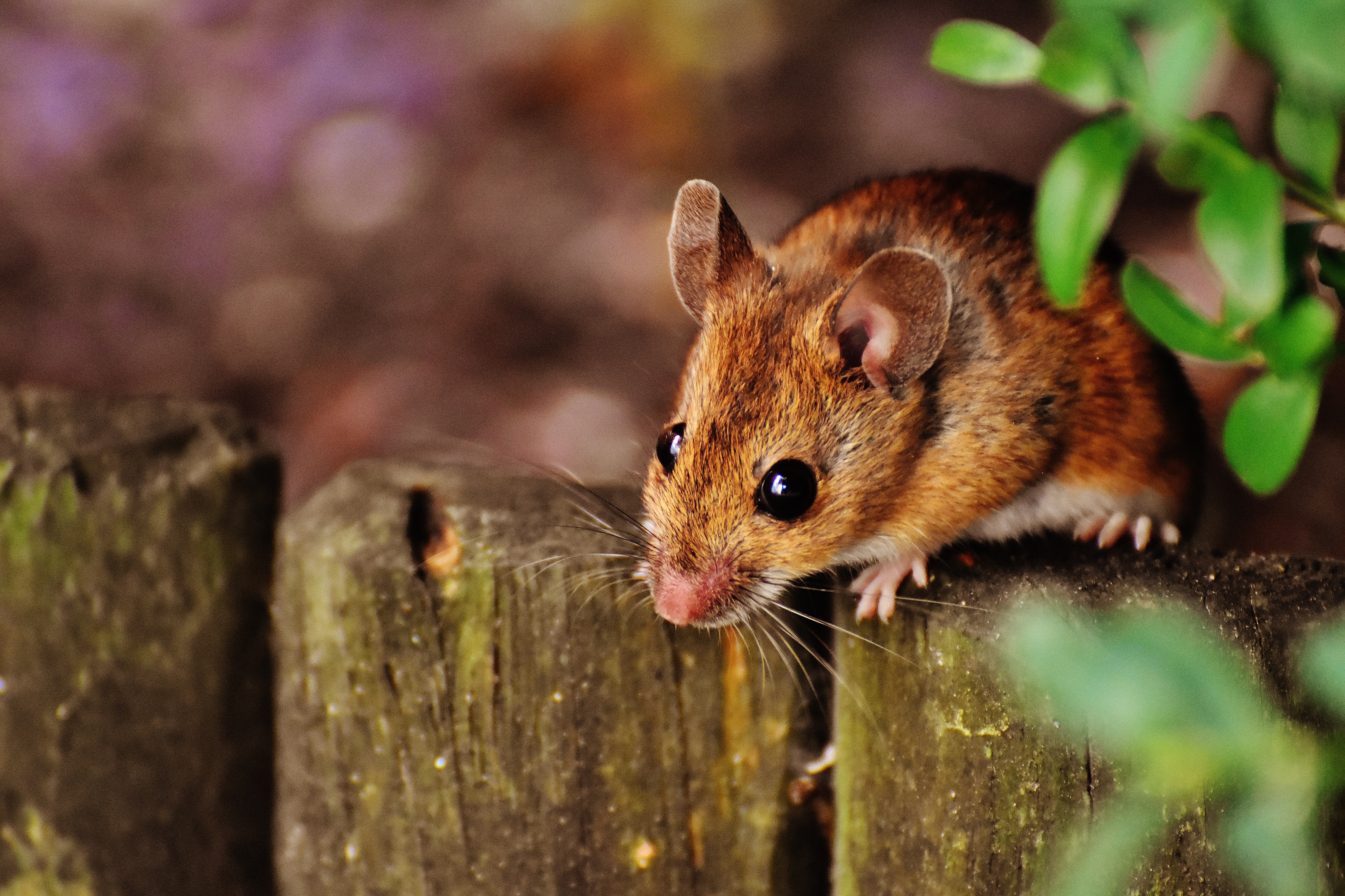selective-focus-photography-of-brown-mouse-2198544